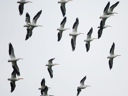White pelicans soar over Bunche Beach on Monday 12/7/2015.