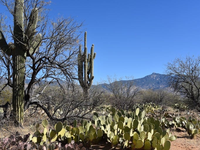 Cactus abounds on the Hope Camp Trail in Saguaro National