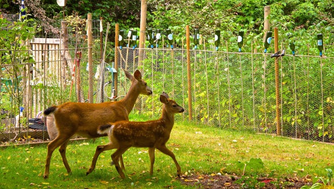 This blacktail doe and fawn are steered away from these backyard gardens by some appealing-to-the-eye fencing. Many people are wildlife watchers and enjoy having them around but any species can become a nuisance in the garden. A variety of benign control and prevention techniques are available including repellants, frightening techniques and distracting them with other plants.