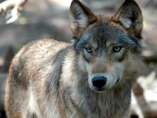 JUMP_Wolf hunt.jpg