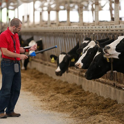 David Cook checks data on his iPhone after scanning a cow with a wand he designed to determine an animal's health.