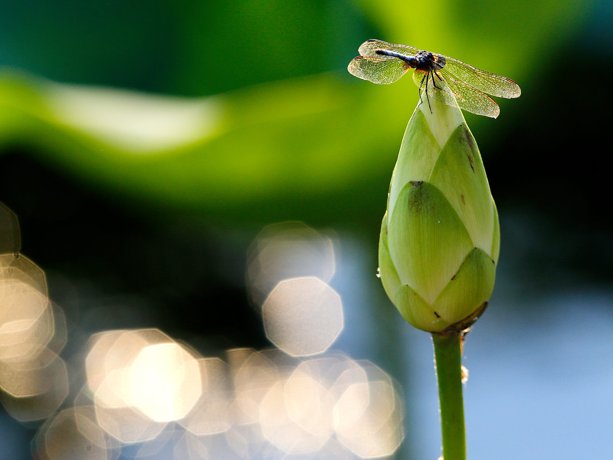 A dragonfly perches atop a closed flower from a water