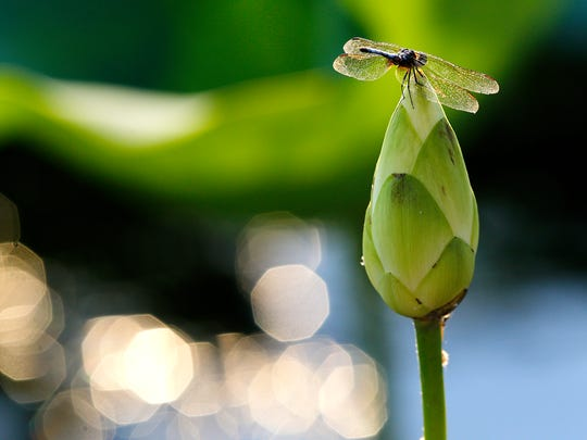A dragonfly perches atop a closed flower from a water lily inside the Hatchie National Wildlife Reserve.