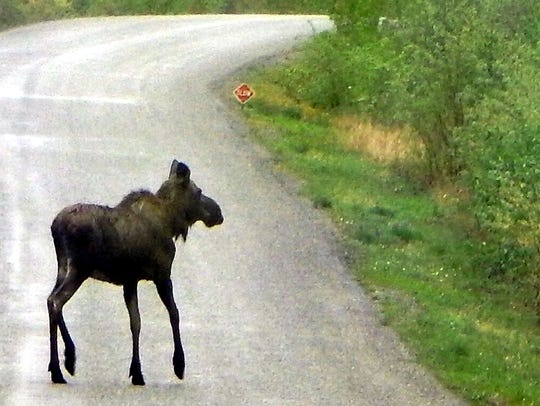 A juvenile moose crosses the Alaska Highway.