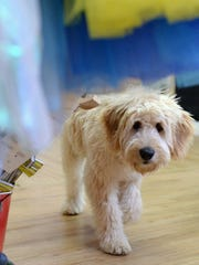 Butters is a Goldendoodle who likes to hang out inside