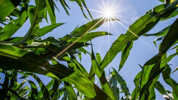 In this Tuesday, July 19, 2016, photo, the sun shines on corn in a field in Mishawaka, Ind. Meteorologists and atmospheric researchers say the Midwest's first dangerous bout of heat and humidity this summer is partly to blame on the moisture being piped out of the ground and into the atmosphere by the increasing acreage of corn crops now reaching their peak.