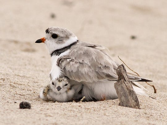 A piping plover chick rests under the protective wings of his father on the Lake Huron shoreline at AuSable Point in East Tawas on July 25, 2011. Unlike some other birds, both male and female piping plovers care for the nest and young.