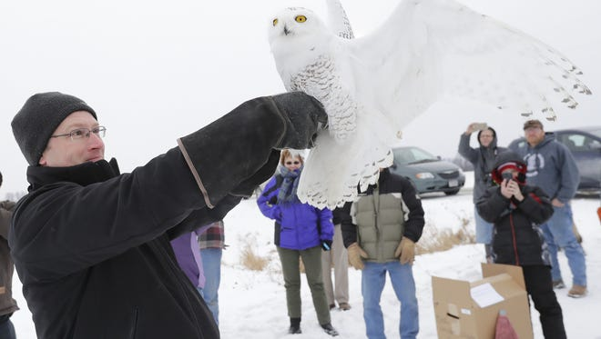 Doug Cooper of Appleton releases a captured snowy owl to the wild Friday north of New London in the Town of Maple Creek. Cooper is the pilot that called the Audobon Society and DNR after spotting the snowy owl at the Wittman Airport in Oshkosh. Dan Powers/USA TODAY NETWORK-Wisconsin