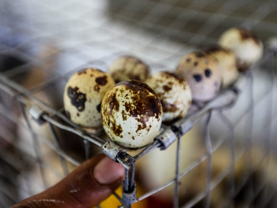 Quail eggs are collected all day for fear they will
