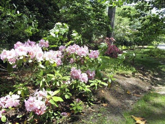 A shrub blooms along a path at Historic London Town and Gardens.