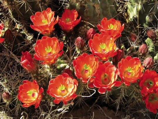 Marcy Scott's book shows how to create colorful and artistic gardens that attract equally colorful hummingbirds in regions from Texas and New Mexico to Arizona and California. Shown here is a seasonal treat for hummers, claretcup cactus in bloom.