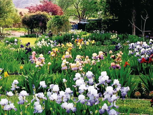 The Hondo Iris Farm celebrates Mother's Day in fine fashion this weekend with a record iris bloom.