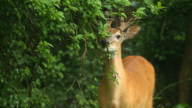 A deer roams Morris Plains in this 2009 file photo