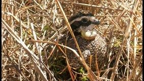 Bobwhite quails relocated from Georgia to the Pinelands in Chatsworth were outfitted with tracking devises. Only 45 of the 80 birds relocated in April survived. Three nests have been discovered by researchers.