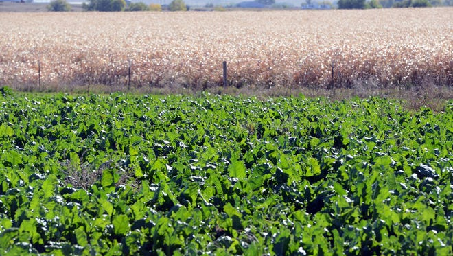 A sugar beet plot is next to a corn silage plot at the Seaworth Family Farm in Wellington Tuesday Oct. 7, 2014.
