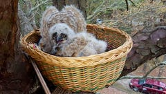 Great horned owl rescue takes a team