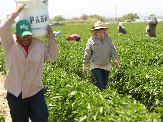 Camelia Sanchez (center) walks through the field as green bell peppers are picked on May 7, 2014, near the border of North Shore and Mecca. Rising temperatures could put farmworkers at risk from heat stress.