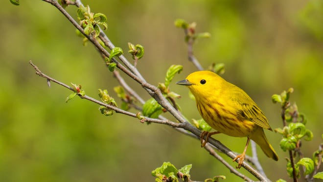 American yellow warbler perched on a branch.