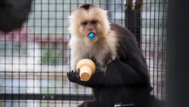 Pia, an 11-year-old capuchin monkey, enjoys a special sweet treat in her home at the East Coast Exotic Animal Rescue in Fairfield on July 11, 2018.