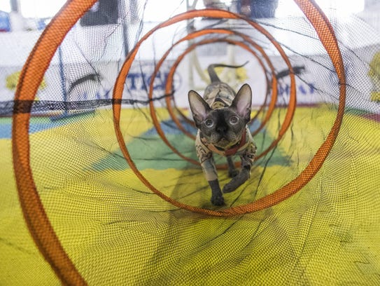 Bemisu, a Sphynx cat from Denver, rehearses the agility