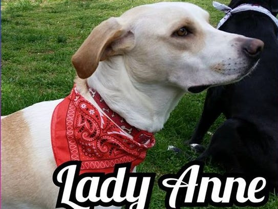 Lady Anne is a 2-3-year-old, spayed-female Labrador
