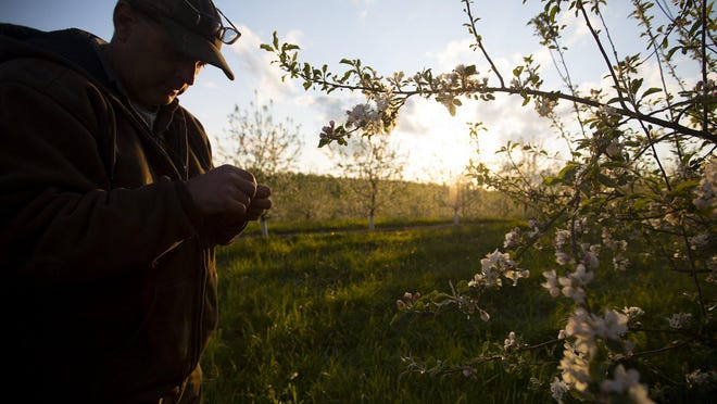 Doug Yeary II, 51, whose family has owned the apple orchards for three generations, looks for dead buds, on the eve of a very cold night, in Adamsville, May 8, 2020.  The temperature dropped to about 28 degrees in the early hours of May 9th. For eight nights in May, Yeary stayed up heating diesel-fueled smudge pots and powered two enormous wind machines to circulate heat to keep tree branches, and buds from freezing in his family's apple and peach orchards. It's been about 10 to 15 years since Yeary and his family had to go to such laborious efforts overnight. Normally, it may be two nights in a month but not eight. This year marked the first season without Doug's father, who passed away in August 2019.