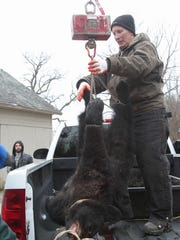 A small bear is weighed by wildlife technician Kim Tinnes at the bear hunt check-in station in Fredon, NJ, on Monday December 8,2014. Dawn J. Benko for the Daily Record MOR 1208 Bear Hunt