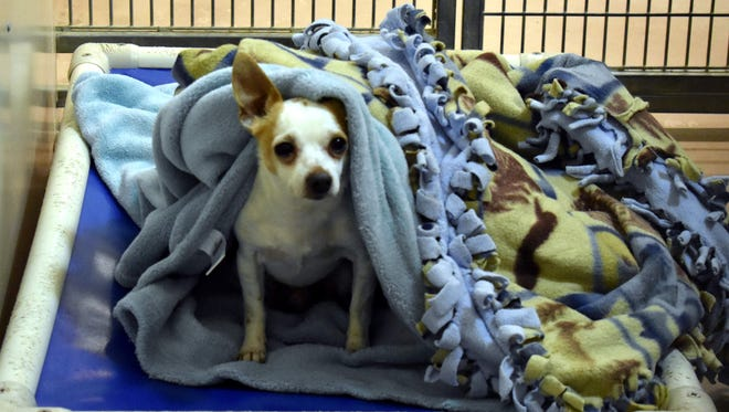 Taco Jr., nestled into his blankets at Lollypop Farm, is just one example of the animals that benefit from the Tails of Hope Telethon on Saturday March 3.