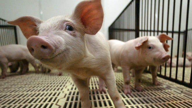 Canadian baby pigs arrive at a farm near Collins, Iowa, in 2004.