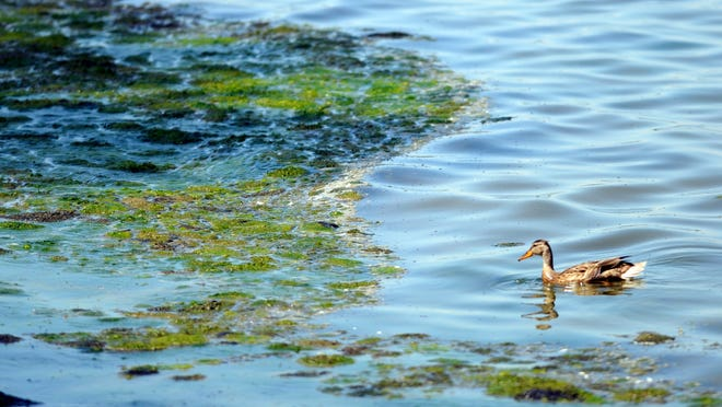 A duck swims along the bay of Green Bay shore July 10, 2012, near an accumulation of algae off Communiversity Park near the University of Wisconsin-Green Bay. Concerns have been raised about a dead zone in the bay that no longer contains enough oxygen to support most fish and other living things.