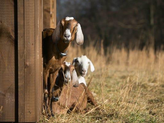 News: Innovate Goats