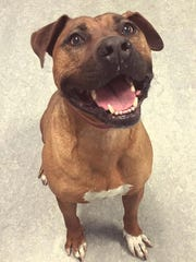 I'm Roscoe, a 8-year-old male Rhodesian ridgeback/boxer mix. I am an older dog with a young spirit. I have been adopted and returned to the shelter many times in my life, mostly due to moving. I have lots of energy still and I love a great game of fetch. I am an expert level in cuddles and I know kids make the best snuggle partners of all! I am very dominant with other dogs and may do well with a submissive female, but I don't do well with small dogs or other small pets. I am one of the favorites of volunteers at the SPCA! If I seem like a good match for you, come and visit with me today! I am available for adoption at the SPCA of Northern Nevada located at 4950 Spectrum Blvd., in Reno, NV. Questions? Call 775-324-7773.