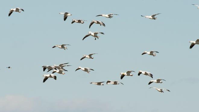Snow geese fly over a farm field near Prime Hook National Wildlife Refuge near Milton.