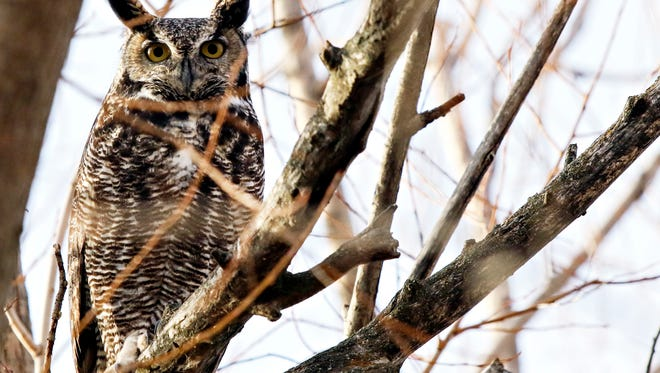 In this Dec. 6, 2017 photo, a great horned owl roosts in a tree outside the Owl Research Institute's field office near Charlo, Mont. (Greg Lindstrom/Flathead Beacon via AP)