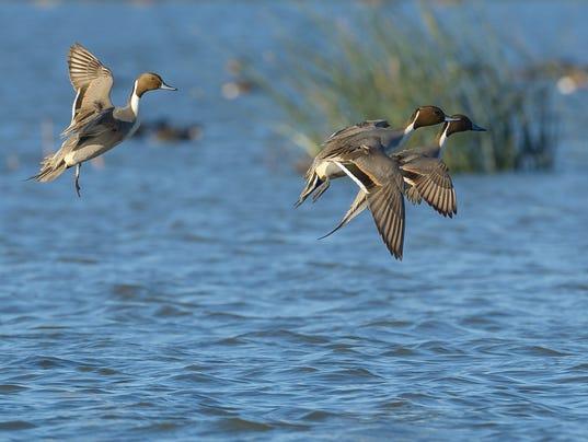 Landing Pintail Males