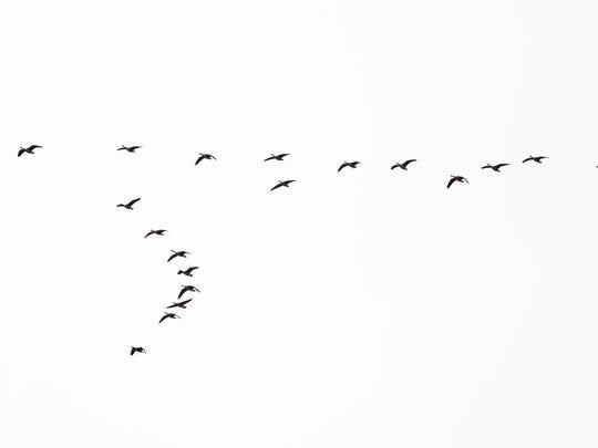 Snow geese near Bombay Hook National Wildlife Refuge
