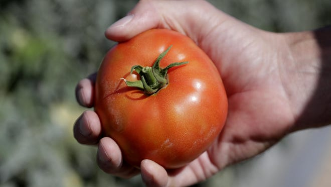 DiMare farm manager Jim Husk holds a ripe tomato in Homestead, Fla. Tomatoes and turnips are among the winners for U.S. seed company sales. In the year of the novel coronavirus and new gardeners in droves trying to grow their own vegetables, tomatoes are still king.