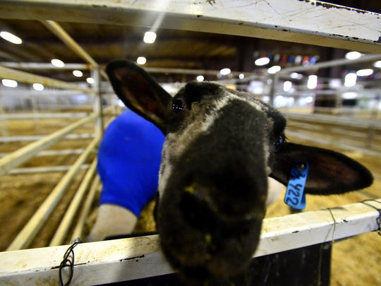 Freckles, a lamb belonging to Clay Blankenship of Fort