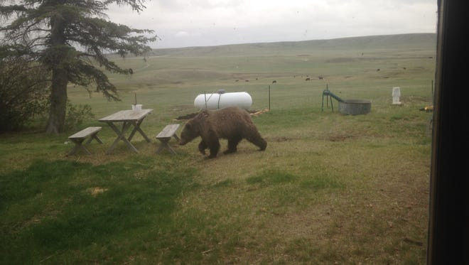 This young grizzly showed up at the Graham Ranch near Conrad this spring.