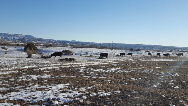 Cattle owned by rancher Jacob Chavez and his family graze on Bureau of Land Management land near Largo Canyon.