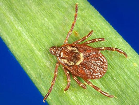 The American Dog tick