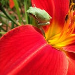 A tiny frog perches on a springtime day lily bloom.