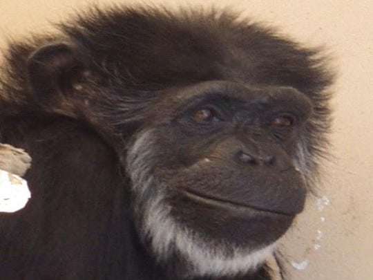 A 2010 photograph of a chimpanzee named Flo. Flo is