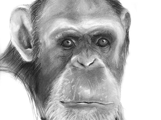 A sketch of a chimpanzee named Cammie. Cammie is a chimp from the Alamogordo Primate Facility at Holloman Air Force Base.