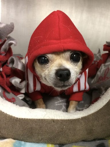 Cookie is a 13-year-old Chihuahua who still has lots