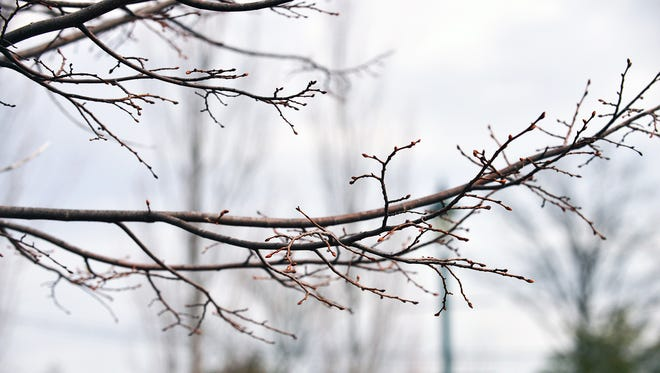 Buds popping early on trees at Celery Farms in Allendale. If cold weather returns, buds can die.