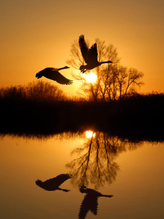 stock - canada geese.jpg