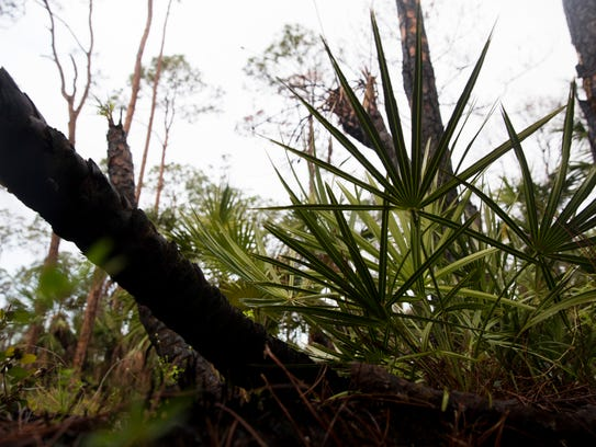 Most undergrowth was destroyed in last spring's brush fires, but new, green foliage could be seen next to blackened trees along the mile-long trail in Serenity Walk Park in East Naples on Tuesday, Jan. 9, 2018.