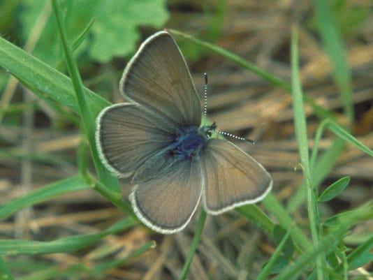 635569949689183036-Fenders-blue-butterfly-Oregon