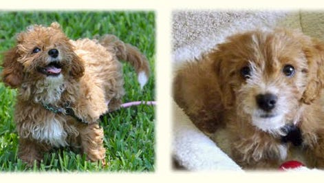 Dog breeders have been searching for a dog that will  look forever young. Enter the Cava-poo-chon, a cavalier King Charles spaniel and bichon frise mix bred with a miniature poodle.
